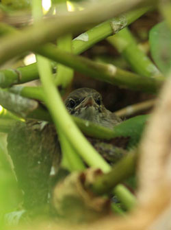 A typical view of a Millerbird fledgling peering out from the naupaka.
