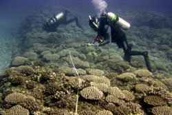 RAMP team conducting coral surveys.