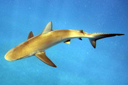 Apex predator species, such as this Galapagos Shark are a common site when conducting surveys.