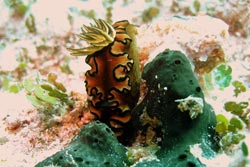 This sea slug Glossodoris atromarginata is rarely seen in Hawaii but was recorded at Mokumanamana.