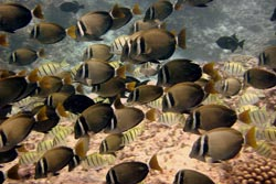Surgeonfishes like the ones shown are herbivores and are an important component of coral reef communities.