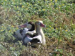 Male and female short-tailed albatross pair are reunited November 2013.