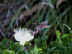 A sphinx moth approaches a maiapilo (<em>Capparis sandwichiana</em>) flower.