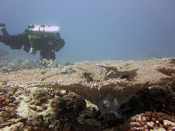PMNM Research Diver Brian Hauk examines the newly-discovered table coral off Oʻahu.