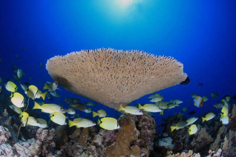 Table Coral And Fishes At Rapture Reef In French Frigate Shoals.
