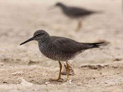 A Wandering Tattler in fresh breeding plumage.