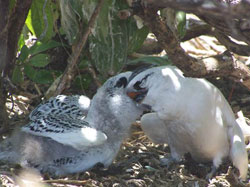 Red-tailed Tropicbird chick being fed by its parent.