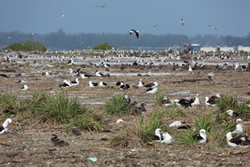 While the loss of birds is significant, millions of tropical seabirds continue to use the NWHI for nesting and breeding.
