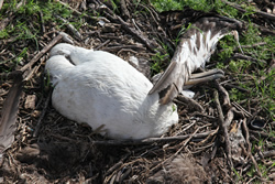 A dead Laysan Albatross adult and chick at Eastern Island-Midway Atoll.