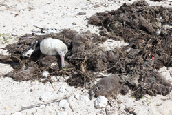 Workers are cleaning up bird carcasses at Midway Atoll.