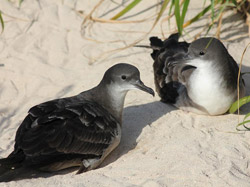 A pair of Wedge-tailed Shearwaters, caught in a quiet moment.