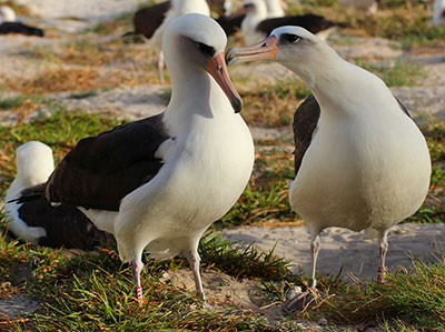 Wisdom (left) with her mate (right) on Midway Atoll National Wildlife Refuge/Battle of Midway National Memorial in the Northwestern Hawaiian Islands.