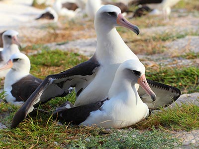 On November 19, 2015 Wisdom Returned to Midway Atoll National Wildlife Refuge and was observed with her mate on November 21.