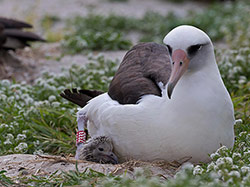 Wisdom and her newest chick on Midway Atoll NWR.
