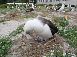 Wisdom's mate tends to his newly hatched chick just hours after it hatches.