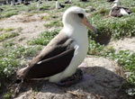 Wisdom returns to Midway Atoll National Wildlife Refuge to resume her chick rearing duties on February 8, 2013.