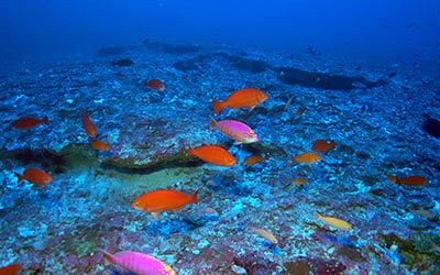 Image of Deep Reefs off Kure Atoll Harbor Fish Species Unique to Hawaiʻi