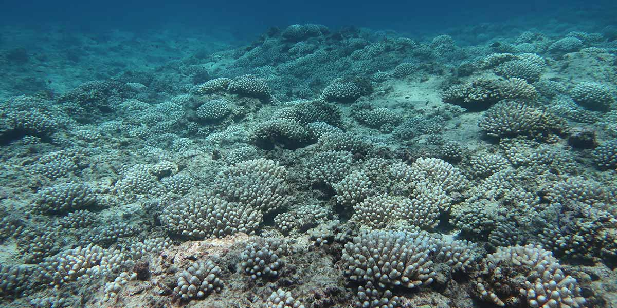 Bleached <i>Acropora</i> corals at eastern French Frigate Shoals.