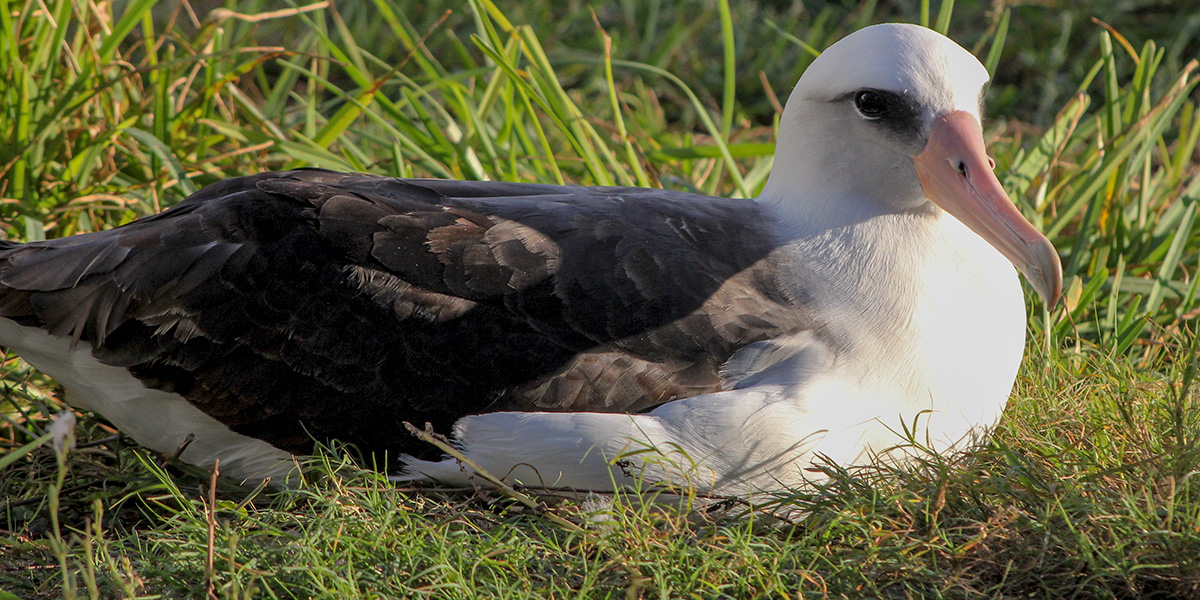Wisdom the Laysan albatross returned to Midway Atoll on November 22, 2019.
