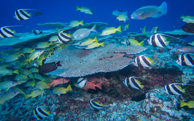A variety of fish species aggregate around a patch reef 80 feet below the surface at French Frigate Shoals.