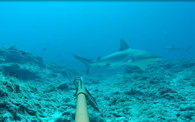 Galapagos and Grey Reef sharks circle a BRUVS unit at French Frigate Shoals.