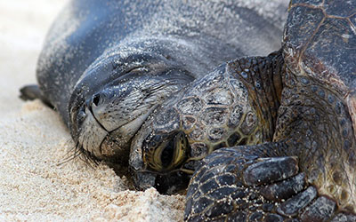 A closeup of a monk seal resting its chin upon the head of a green sea turtle on a beach in Papahānaumokuākea Marine National Monument.