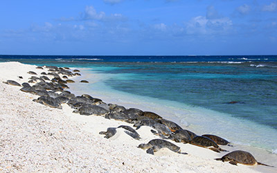Dozens of honu bask on the shores of Trig Island in French Frigate Shoals.