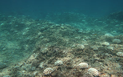 Bleaching at Pearl and Hermes Atoll.