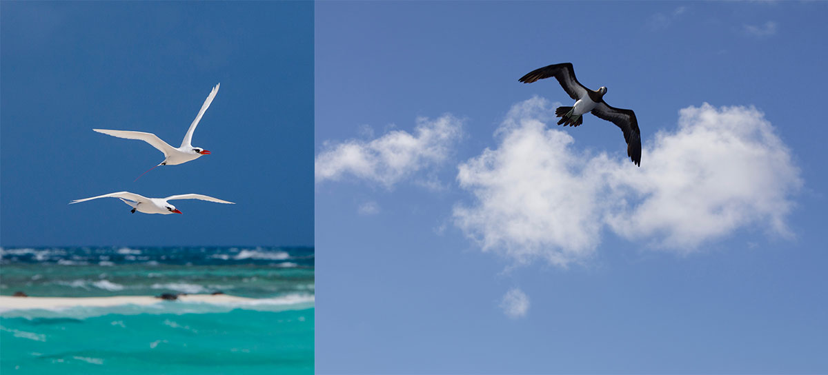 Seabirds commonly found in the monument include from left, Koaʻe ʻula (red tailed tropicbirds) and ʻĀ (brown booby).