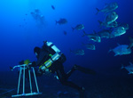 NOAA scientific diver followed by large ulua while conducting coral reef surveys at Pearl and Hermes Atoll, 200 feet.