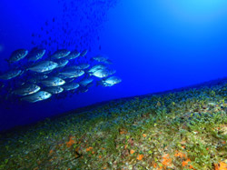 Jacks over deep algal bed at Johnston Atoll.