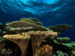 Table coral in Hawai'i is limited to French Frigate Shoals and neighboring atolls.