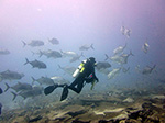A diver encounters a school of ulua aukea, or giant trevally.